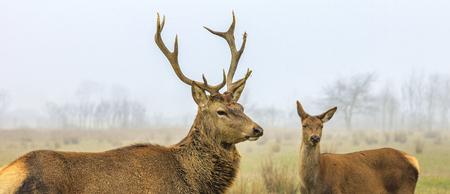 red deer stag and doe in forest landscape of foggy misty