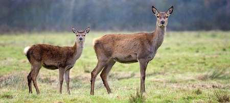 Whitetail fawn and its doe in a thick forest Stock Photo