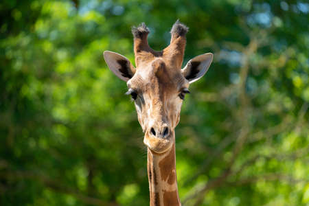 Close-up of a giraffe head in front of some green trees