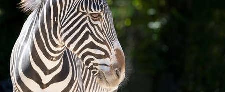 head of zebra in a zoo 免版税图像