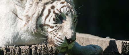 portrait of white tiger resting 免版税图像