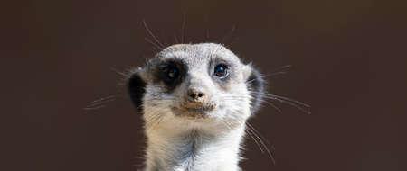 Front view of a Meerkat standing upright 免版税图像
