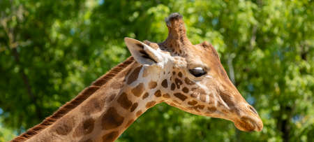 Close-up of a giraffe in front of some green trees 免版税图像