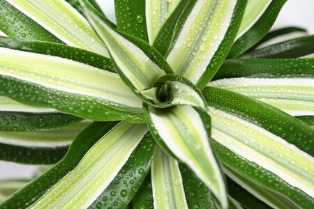 flower with long green leaves with water droplets close-up 写真素材
