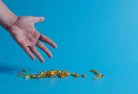 hand and yellow dry petals lie on a blue background Standard-Bild