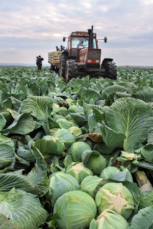 Cabbage fields with workers harvesting cabbage in the field in RUSSIA OCTOBER 20, 2015 Editorial