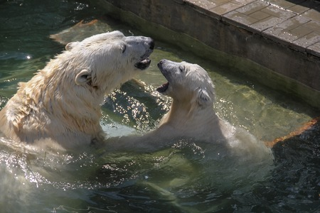 white bear with her cub at the zoo