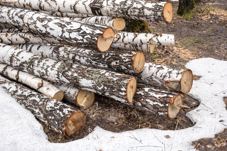 freshly sawn birch logs in the forest in Russia