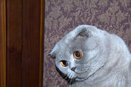 The cat having a funny look. Gray Scottish fold Cat funny look eyes expression Фото со стока