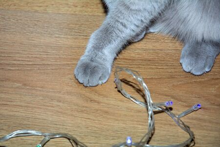 Grey Cat Playing With Garland. Paw of gray scottish fold cat is playing with New Years tinsel. Merry Christmas And Happy New Year Concept