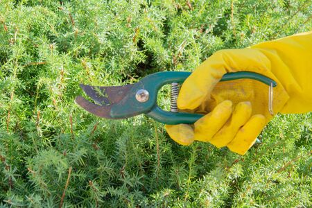 A woman in yellow gloves cut a green Bush with pliers in the garden Stock fotó