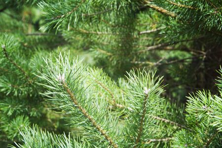 green spruce branches close-up background.