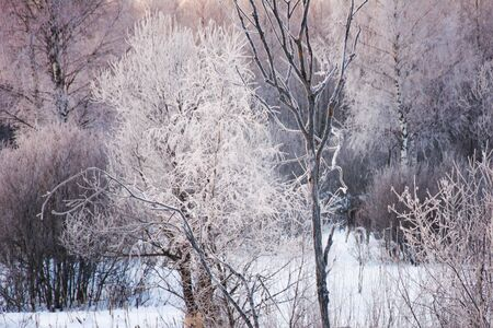Trees with frost in the winter snow covered forest.