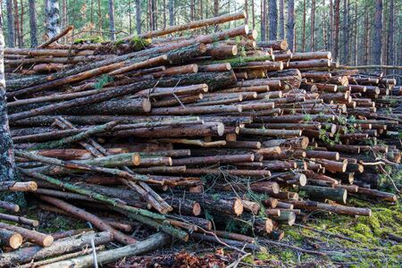 Deforestation forest - felling trees in woods. Forestry industry. Pile of felled pine trees in the forest background