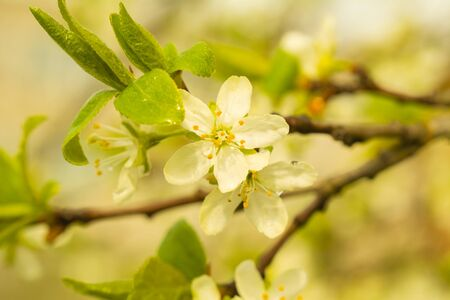 White Apple blossoms on a branch. Spring flowers. Natural floral background
