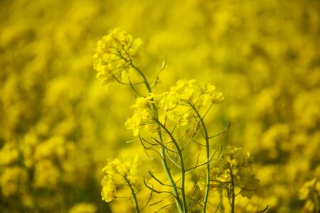 Fragment of field of rapeseed. Green energy and oil industry concept Фото со стока