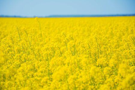 Rapeseed field in summer on blue sky background. Zdjęcie Seryjne