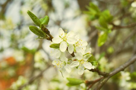 Spring blossoming tree with dew drops. Rainy spring day background. Summer concept.
