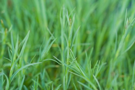 Green grass texture. Natural background. the concept of morning freshness Фото со стока