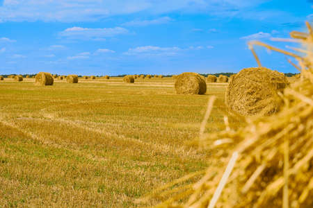 Golden round bales of hay in field against blue cloudy sky. Harvest season. Autumn nature landscape and background. Haystacks on agricultural field in sunny autumn day Фото со стока