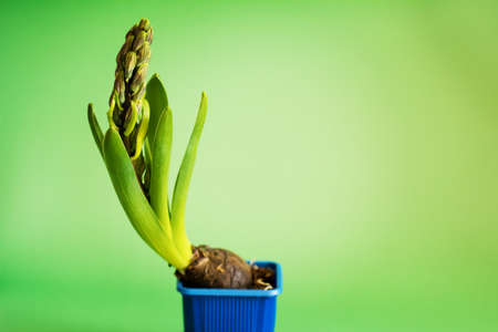 Hyacinth plants with buds in blue pot on green background. Spring flower concept. Germinating young plant. Shallow depth of field image Фото со стока