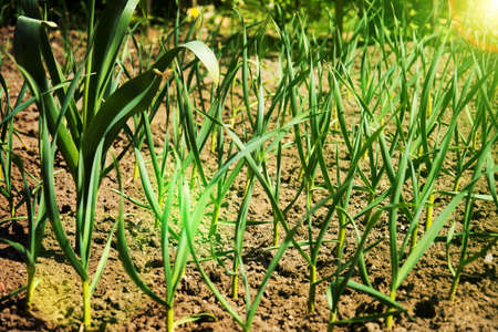 Garlic sprouts in field with soil. Cultivated garlic plantation in vegetable garden Фото со стока