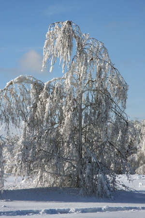 caved: Birch has strongly caved in under weight of a snow.