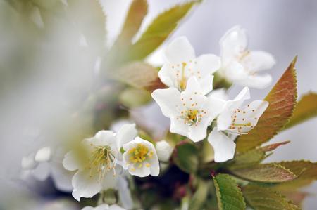 apple blossom: Apple tree blossoms Stock Photo