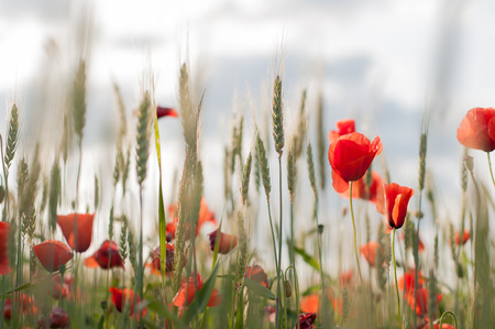 Red poppies in the green field. Nature background.