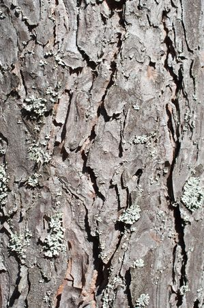 crannied: Close up of pine tree bark surface texture