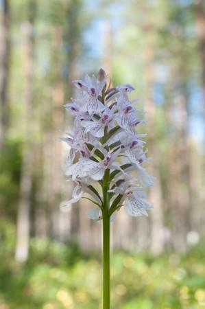 madera pino: Flor de primavera en madera de pino