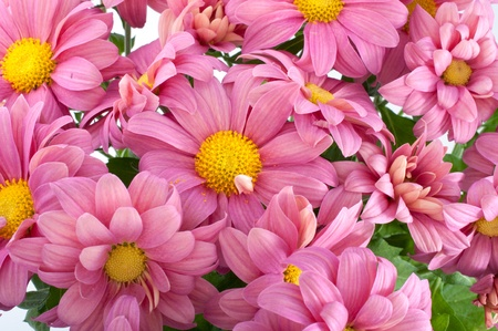 high angle view: Close-up pink chrysanthemum flowers, isolated on white Stock Photo