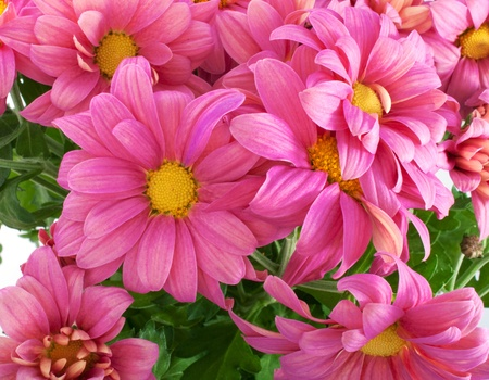 Close-up pink chrysanthemum flowers, isolated on white photo