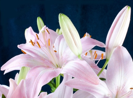 black backgound: Lily flowers on black backgound Stock Photo