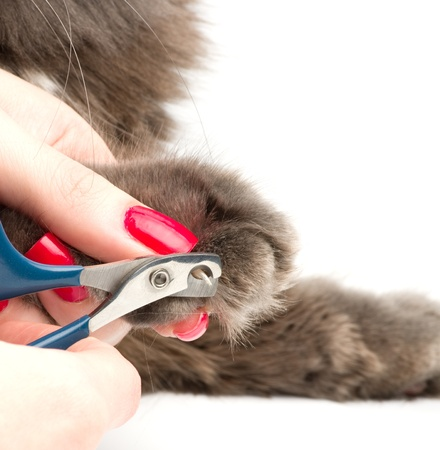 cat grooming: Trimming cat nails Stock Photo