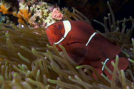 pez payaso: Clownfish