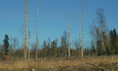 Spruce forests infested and attacked by the European spruce bark beetle pest Ips typographus, clear cut calamity caused by bark beetle due to global warming, influence of emissions Stockfoto