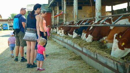 OLOMOUC, CZECH REPUBLIC, JUNE 11, 2019: Cows on organic farm farming, family children baby, feed hay grass silage pets, dairy cows, Czech Fleckvieh breed, dairy cattle breeds, cowshed feeding Archivio Fotografico - 129998814