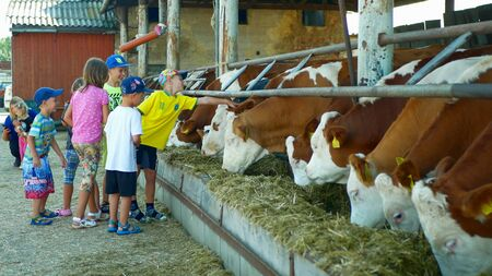 OLOMOUC, CZECH REPUBLIC, JUNE 11, 2019: Cows on organic farm farming, children caress stroking and feed hay grass silage pets, dairy cows, Czech Fleckvieh breed, dairy cattle breeds, cowshed feeding Archivio Fotografico - 129998815