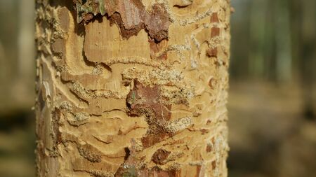 Bark wood beetle pest Ips typographus infestation, spruce and bast tree infested attacked by European spruce, making their way in wood larva and larvae, clear cut calamity, caterpillar dead trees