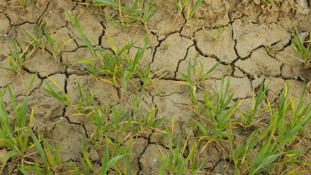 Very drought dry field land wheat Triticum aestivum, drying up soil cracked, climate change, environmental disaster earth cracks, death plants animals, soil degradation, desertification disaster
