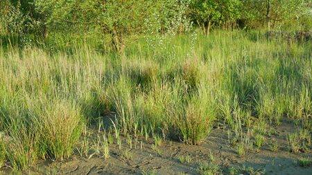 Drought wetland, swamp clay rushes Juncus drying up cracked soil crust earth climate change, environmental disaster and earth cracks, death for plants tree wood, soil dry degradation pond lake Standard-Bild