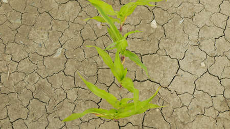 Drought field land maize corn leaves Zea mays, drying up soil, drying up the soil cracked, climate change, environmental disaster earth cracks agricultural problem dry, agriculture vegetables leaf