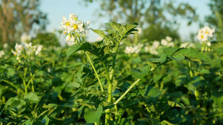 Field potato blossom flowers white leaves Solanum tuberosum blooming potatoes, farm bio organic farming land environmental and earth harvest, agriculure land country landscape Europe