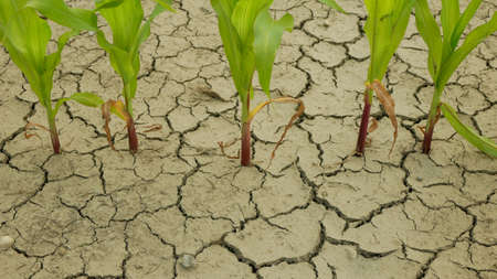 Maize corn drought field land leaves Zea mays, drying up soil, drying up the soil cracked, climate change, environmental disaster earth cracks agricultural problem dry, agriculture vegetables leaf