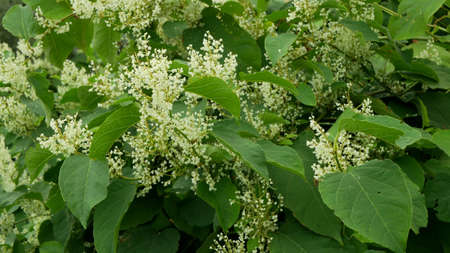 Knotweed flower invasive plant Reynoutria bloom or blossom bees Fallopia japonica Japanese, expansive intruder neophyte achenes calamity flowers honey bee insects collect saw, Czech Republic Europe
