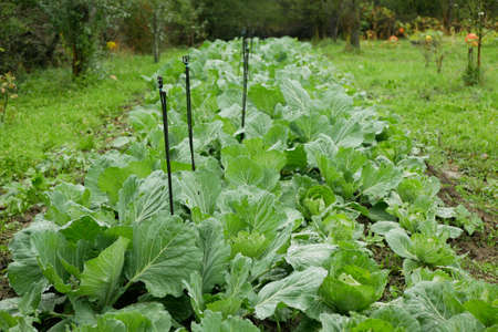 Cabbage field leaf green cole crops white, farm farming garden leaves bio organic Brassica oleracea capitata large fresh plantation vegetables plant grown production ripe, irrigation agriculture