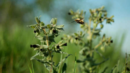 Monkswort flower plant flowering Nonea pulla canescens blossom bloom inflorescence dark purple, pollinates bee fly or dark-edged black-tailed bee-fly Bombylius major stepp meadow