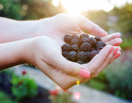 Handful of fresh blackberries in the womens hands photo