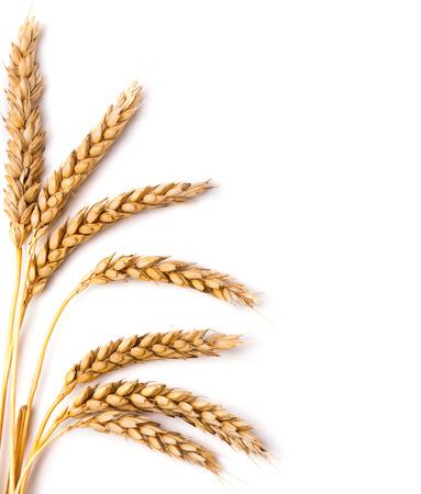 白い背景で隔離された小麦の穂